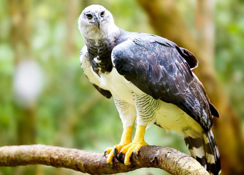 عقاب هارپی آمازون