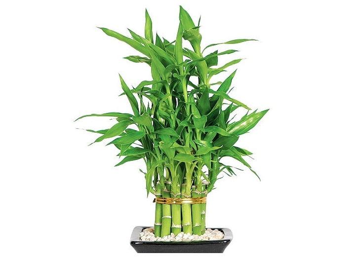 گیاه آپارتمانی بامبو