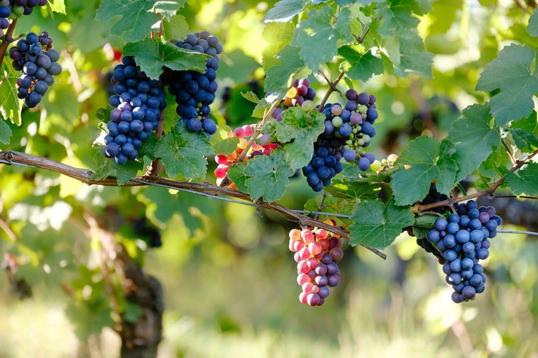 ۶ میوه فوقالعاده ضد پیری زودرس با خواص آنها - میوه انگور
